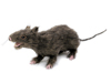 Rat, lifelike with coat 30cm